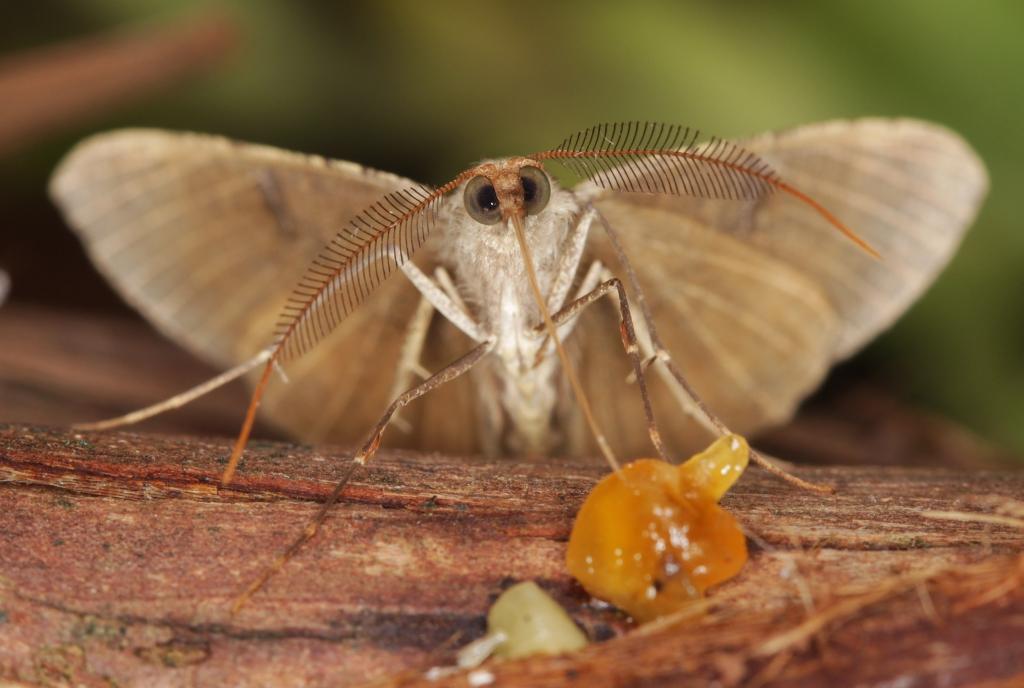 02-Scotorhythra-Moth-01-2500