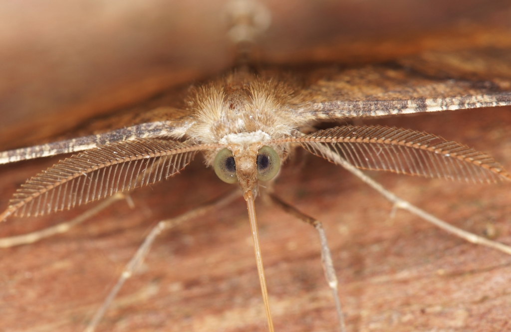 Scotorhythra-Moth-Closeup-02-2500
