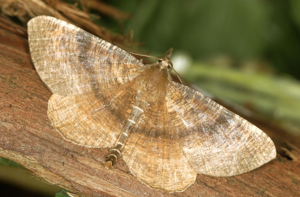 Scotorhythra-Moth-Top-01-2500