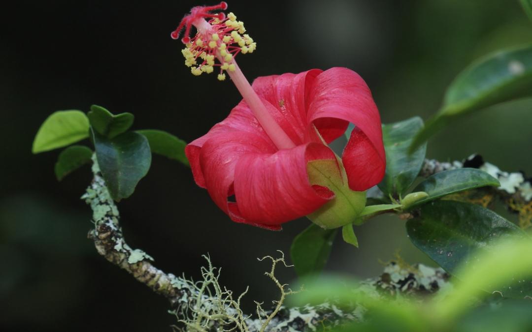 Hibiscus clayi — Kokiʻo ʻula