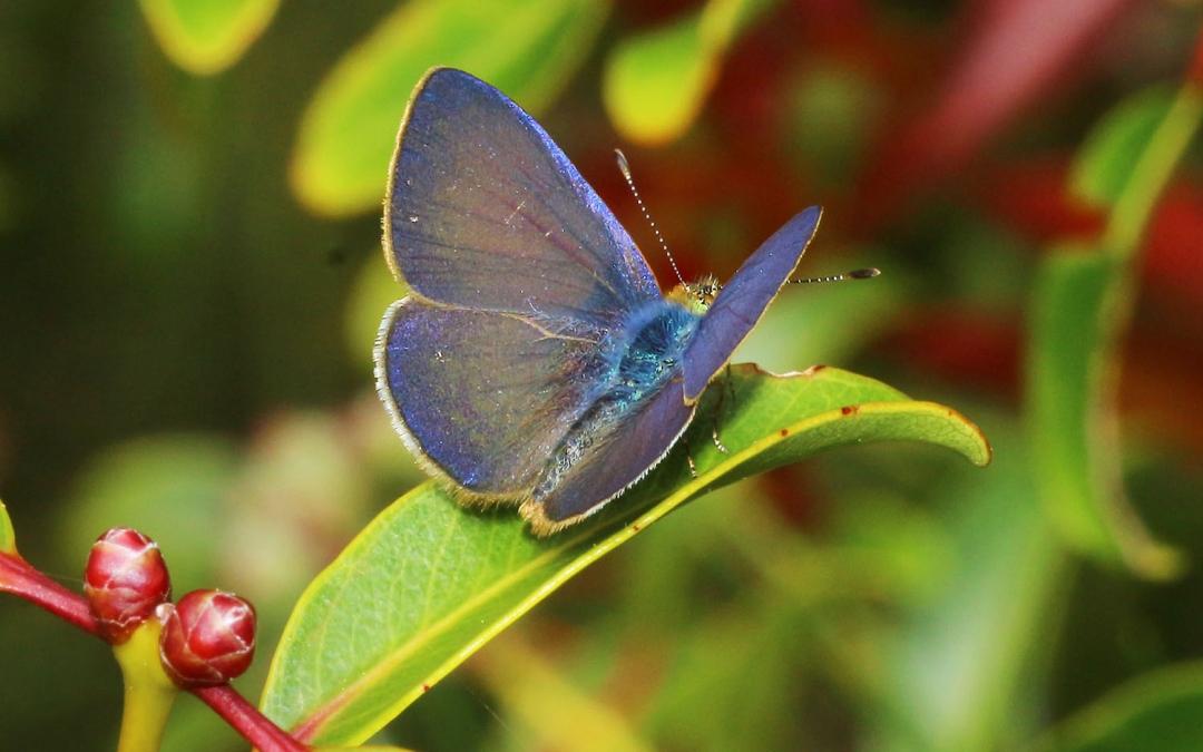 Koa Butterfly
