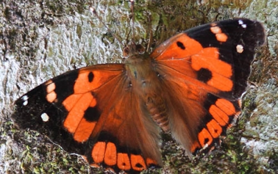 Kamehameha Butterflies in the Koa Forests