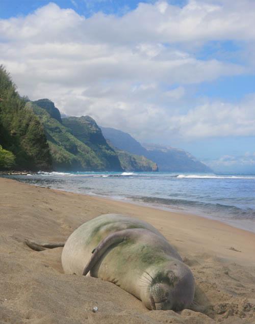 Part 10 – Hawaiian Monk Seal at Kee Beach