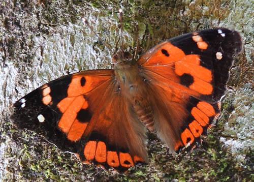 Kamehameha Butterflies in the Koa Forests