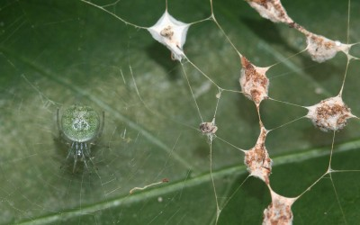 Cyclosa Spiders in the Waiʻanae Mountains