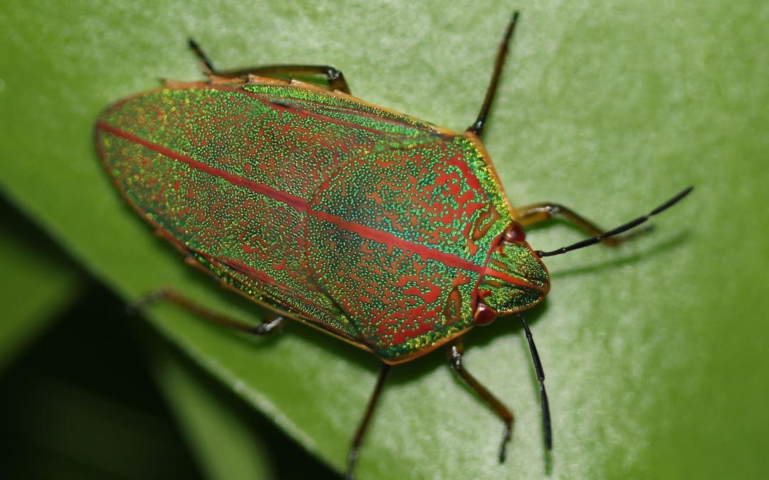 Koa Bugs in the Hawaiian Islands