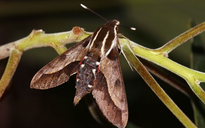 Hawaiian Sphinx Moth