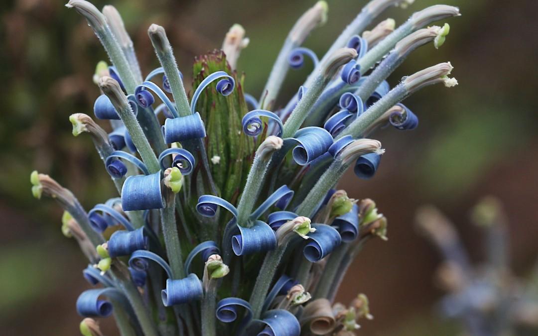 Lobelia oahuensis in Bloom