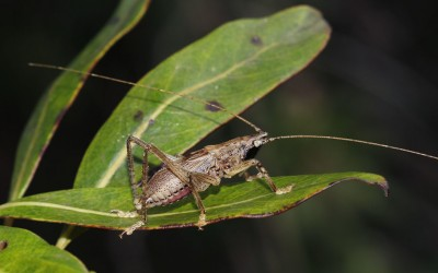 Native Flightless Conehead Katydid
