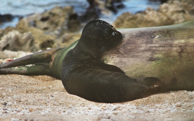 Birth of a Hawaiian Monk Seal Pup!
