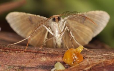 Scotorythra Moth in Haleakalā Crater